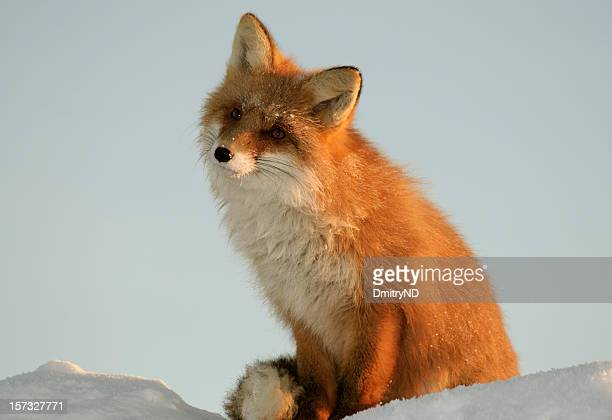 Fox sits on snowdrift and dreams at sunset light.