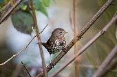 Fox sparrow (Passerella iliaca)  spotted outdoors in California