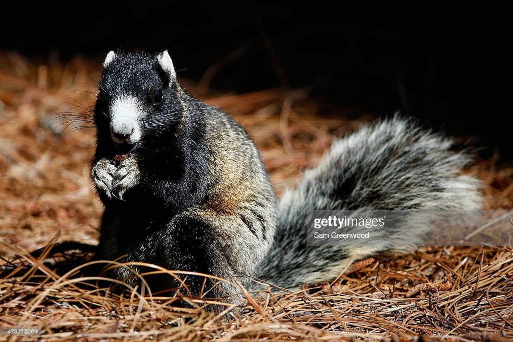 A fox squirrel as seen on the Copperhead Course during the second round of the Valspar Championship at Innisbrook Resort and Golf Club on March 14, 2014 in Palm Harbor, Florida.