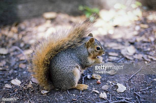 Fox Squirrel Eating Peanuts