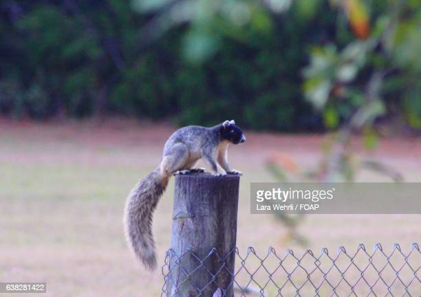 Fox squirrel on post