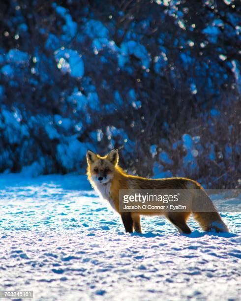 Fox Standing On Snowy Field During Winter