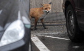 A fox stands between cars in Berlin's city center on January 14 2011 In many major cities such as Berlin Zurich or London foxes have discovered urban...