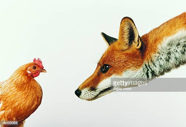 Fox Staring at Hen