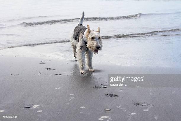 Fox terrier. Bayas beach.