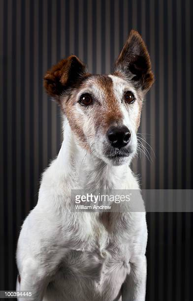 Fox Terrier portrait