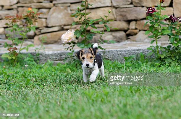 Fox terrier puppy in a garden