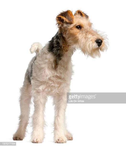 Fox Terrier puppy (4 months old)
