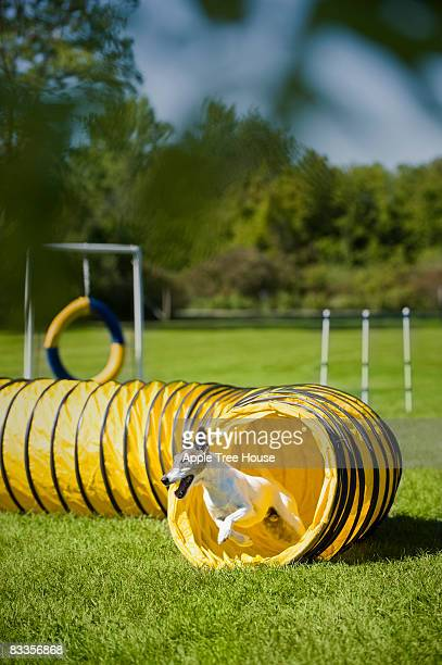 Fox terrier turning out of agility tunnel