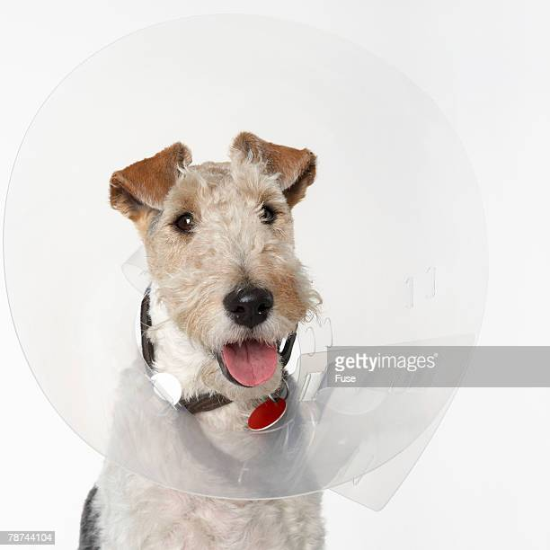 Fox Terrier with Funnel Collar