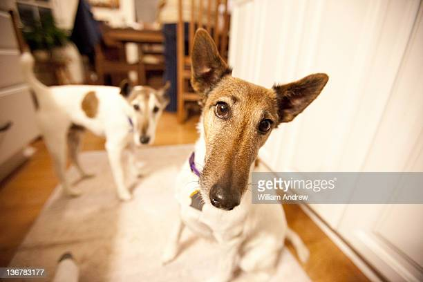 Fox Terriers in kitchen, wide angle lens