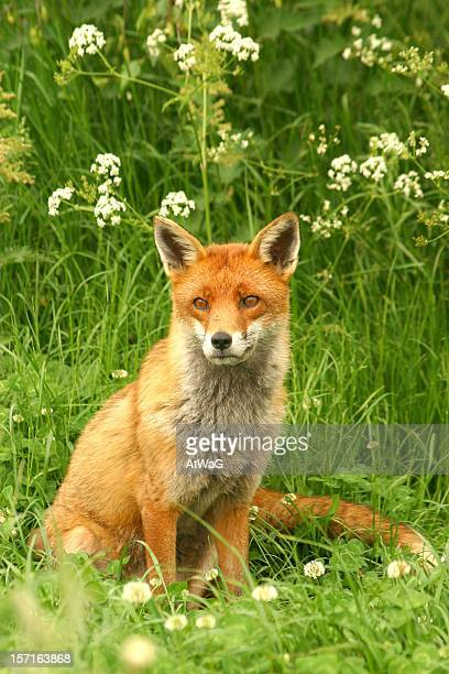 Fox with umbels