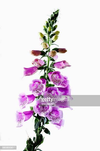 Foxglove, Digitalis purpurea, medical plant