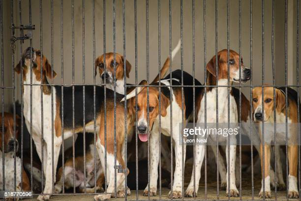 Foxhounds are seen in their kennels at the Festival of Hunting on July 19 2017 in Peterborough England Now in it's 129th year the show features the...