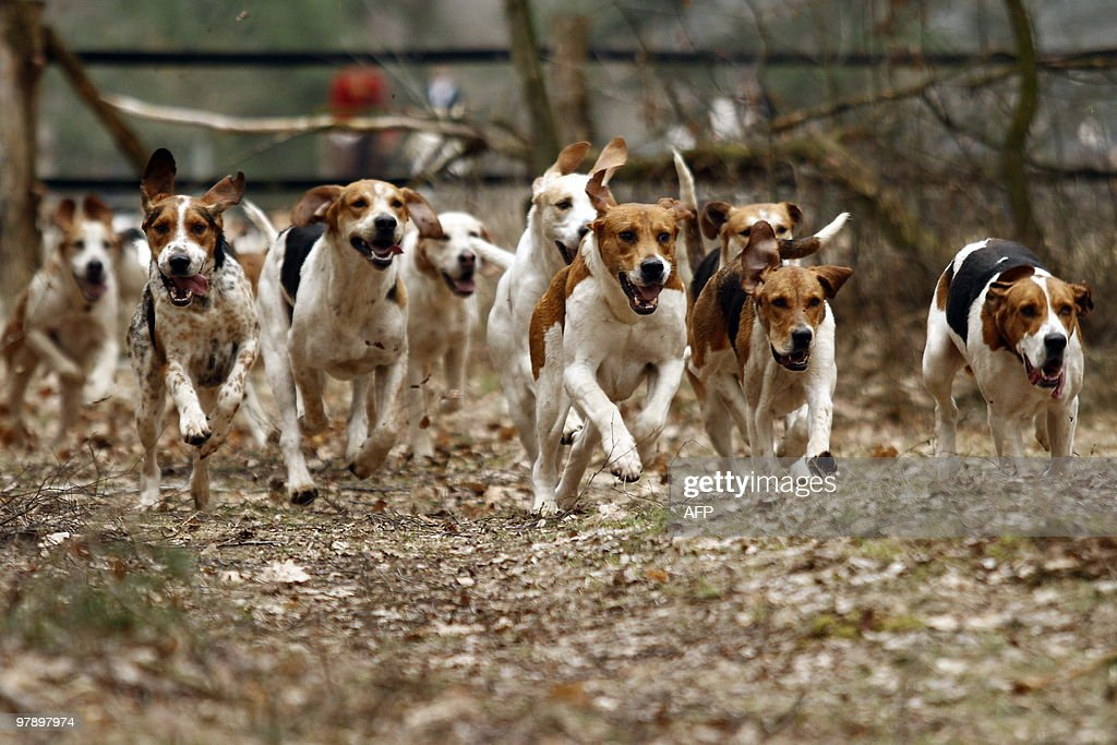 Foxhounds follow a scent during a drag hunt in Meitze northern Germany on March 20 2010 Some 135 riders and about 100 dogs participated in the 20...