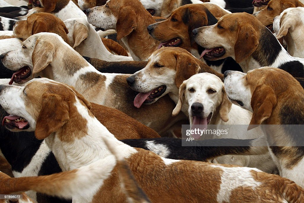 Foxhounds gather during a drag hunt in Meitze northern Germany on March 20 2010 Some 135 riders and about 100 dogs participated in the 20 milometer...