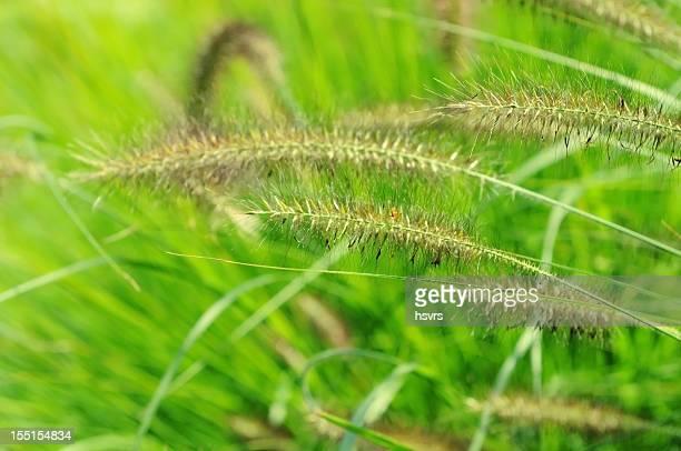 Foxtail fountain grass (Pennisetum alopecuroides)