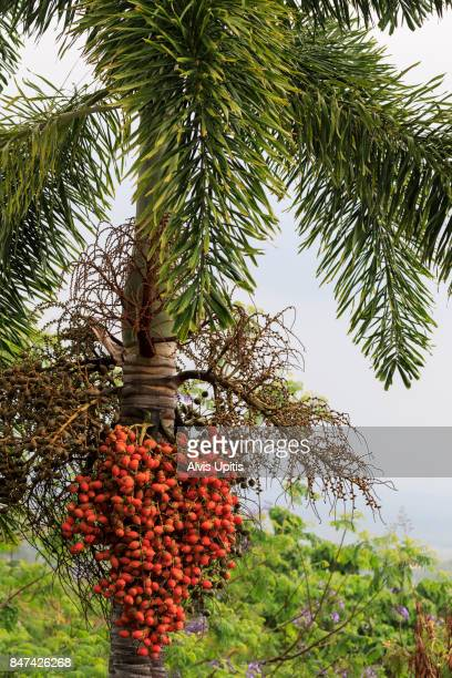 Foxtail Palm and seed fruits