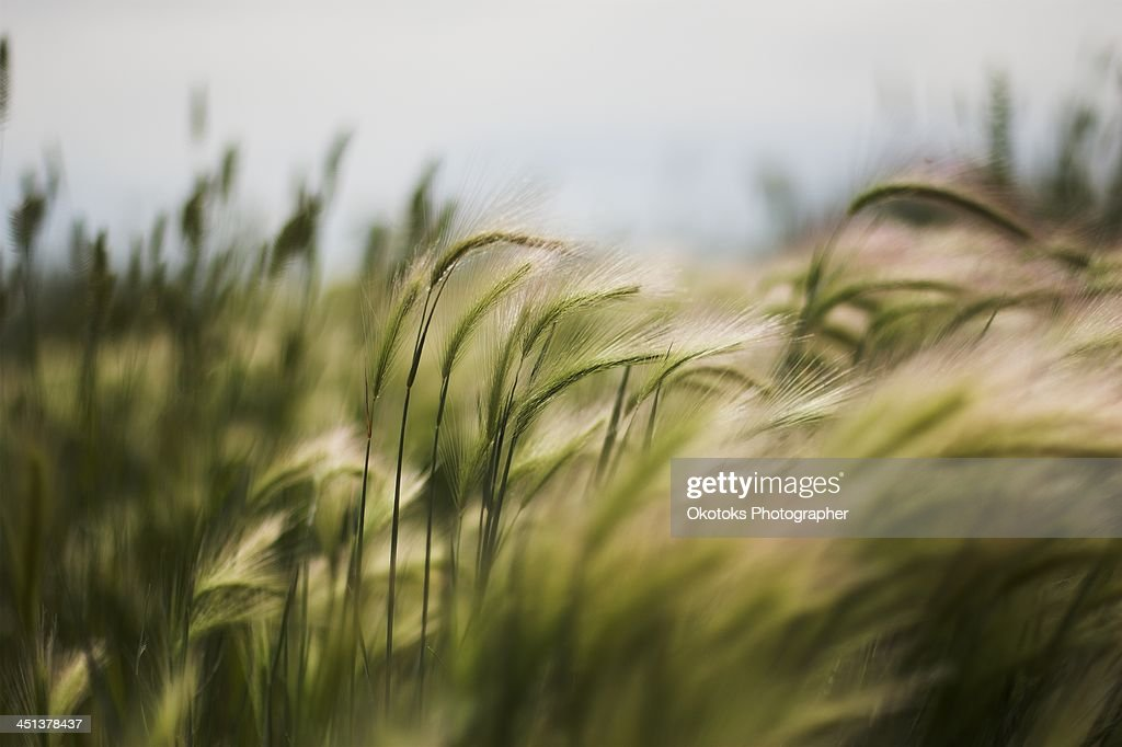 Foxtails floating in the wind