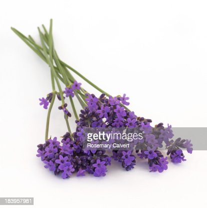 Fragrant lavender flowers freshly picked