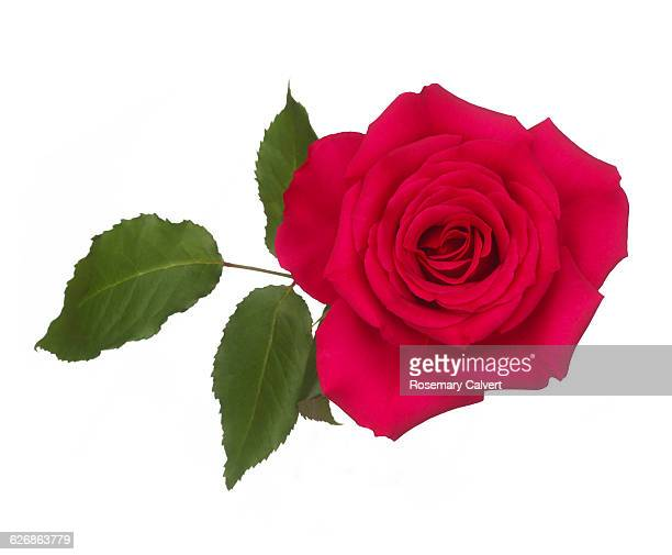Fragrant pink rose with leaf on white.