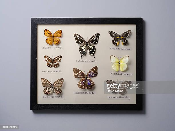 Framed butterfly collection.