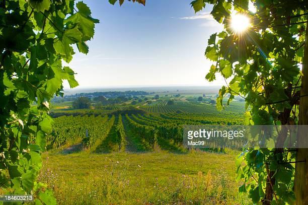 Gerahmte Weinberg in sehr frühen Morgensonne