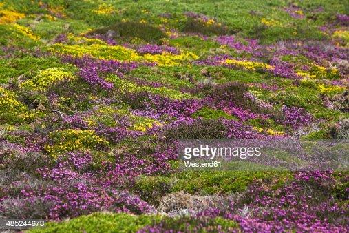 France, Bretagne, Cap Frehel, Landscape with gorse and heather