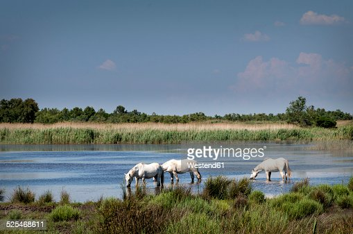 France, Camargue, Camargue horses in water