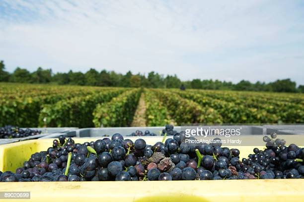 France, Champagne-Ardenne, Aube, grapes in bins, vineyard in background