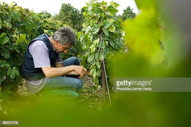 France, Champagne-Ardenne, Aube, worker picking grapes in vineyard