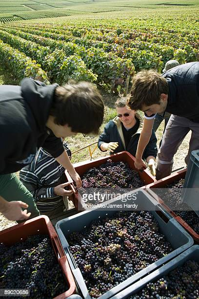 France, Champagne-Ardenne, Aube, workers loading bins of grapes in vineyard, high angle view
