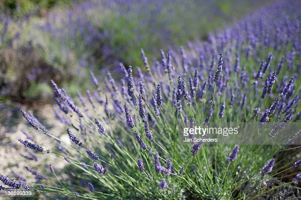 France, Drome, Grignan, Close-up of lavender in field