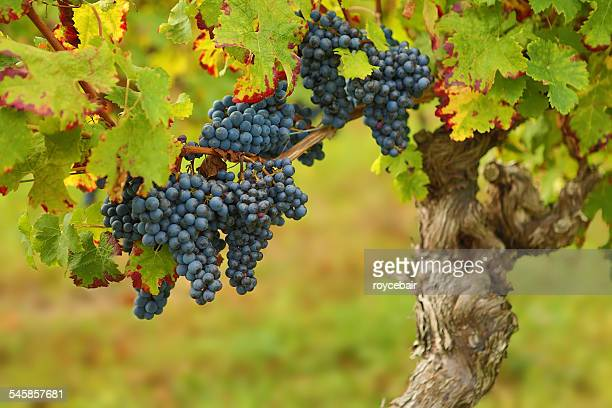 France, Grapes ready for harvest