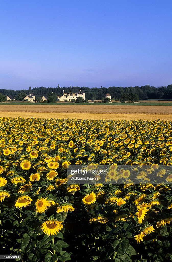 France Loire Region Near Chinon Sunflower Field With Old Castle In Background