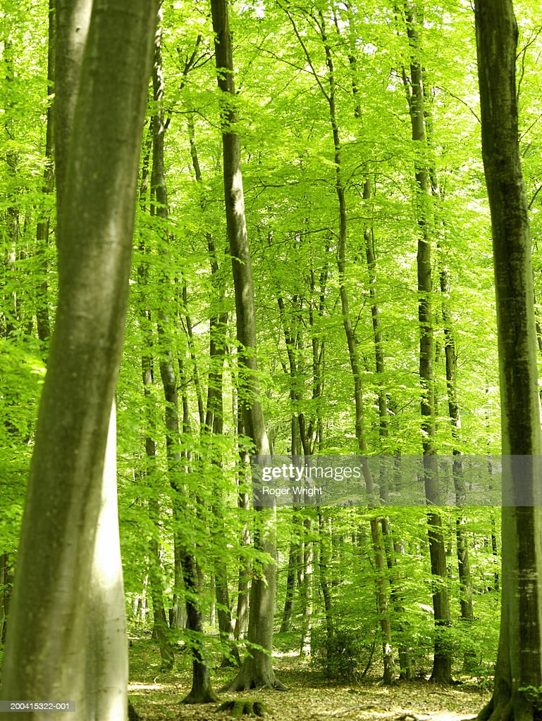 France, Normandy, Eure, Lyons-la-Foret, beech forest (Fagus sp.) : Stock Photo