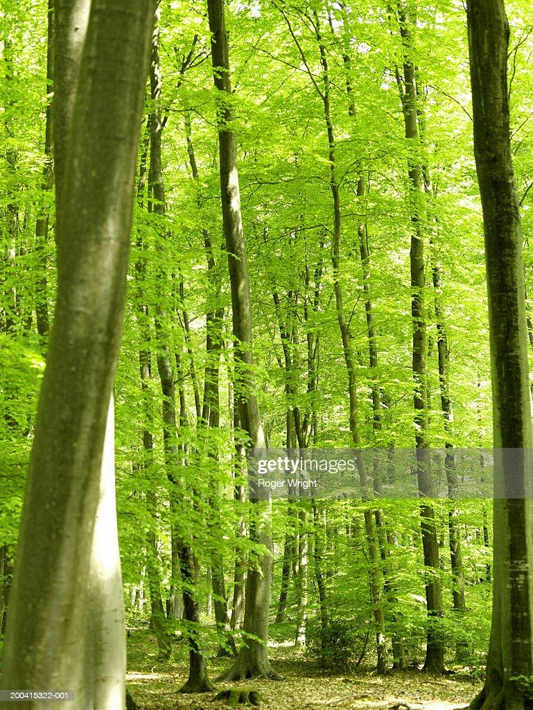 France, Normandy, Eure, Lyons-la-Foret, beech forest (Fagus sp.)