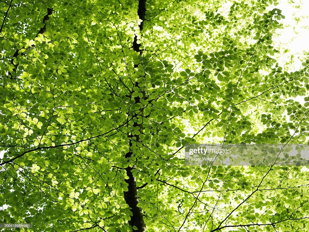 France, Normandy, Eure, Lyons-la-Foret, beech trees (Fagus sp.)