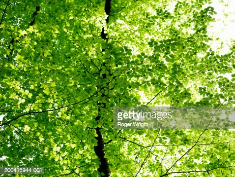France, Normandy, Eure, Lyons-la-Foret, beech trees (Fagus sp.) : Stock Photo