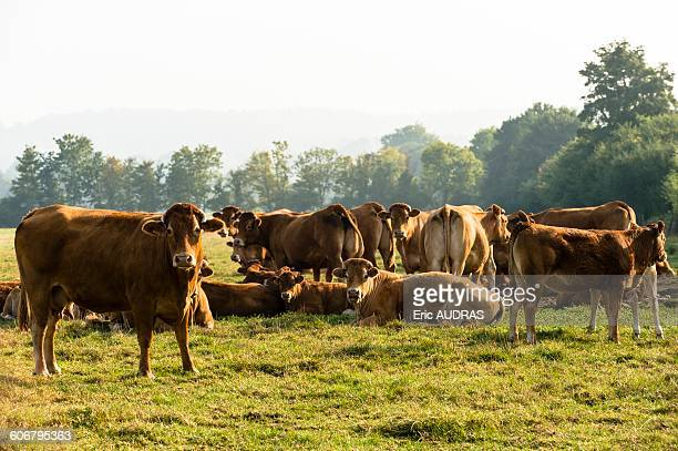 France, Normandy, herd of cows in a meadow