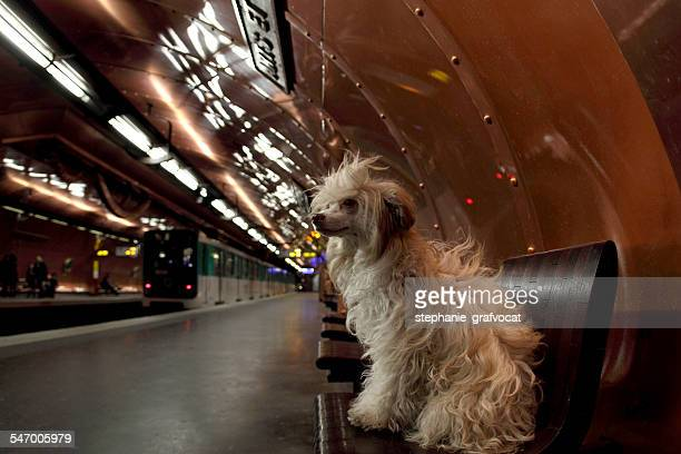 France, Paris, Chinese crested dog sitting on bench in subway
