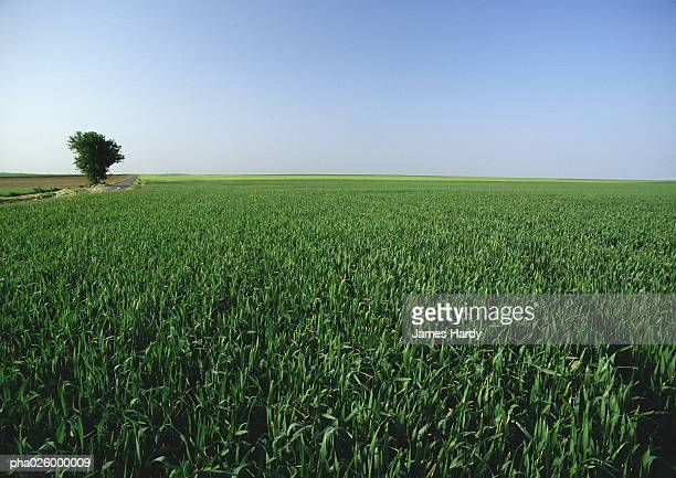 France, picardy, crop field with single tree.