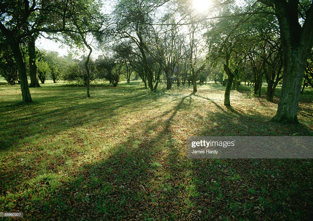 France, Picardy, trees in field with sun shining through branches.
