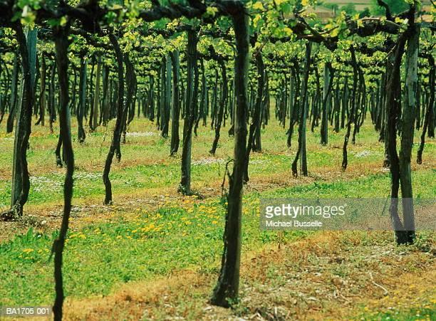 France, Poitou-Charentes, Cognac, vineyard, low level section