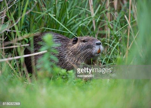 France, Provence Alpes Cote d'Azur, Camargue, Eurasian beaver, Castor fiber, eating grass