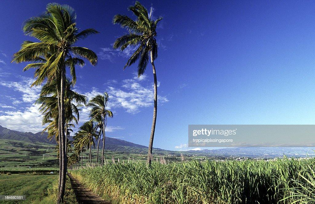 France, Réunion, sugar cane and coconut.
