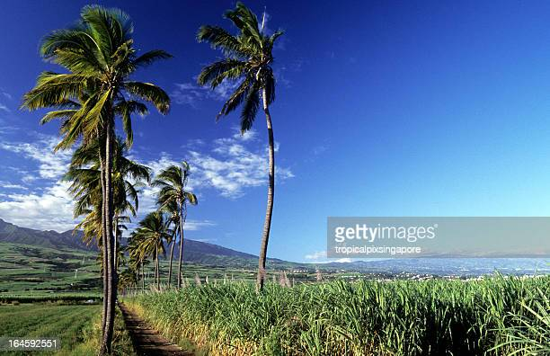 France, Réunion, sugar cane and coconut.