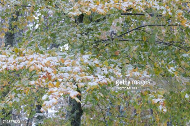 France, South-western France, young beech tree in Fall, covered with snow