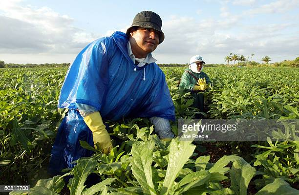 Francisco Morales and Teresa Gomes both from Mexico pick okra May 7 2004 in Homestead Florida Congressional Democrats rallied May 6 on Capitol Hill...