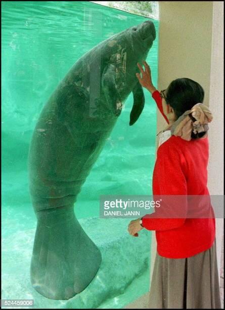 Francoise Delord directrice du ZooParc de Beauval pr��s de Saint Aignan semble caresser le 08 mai un des deux lamamtins ��tranges mamif��res...